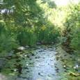 キショウブとスイレンの池