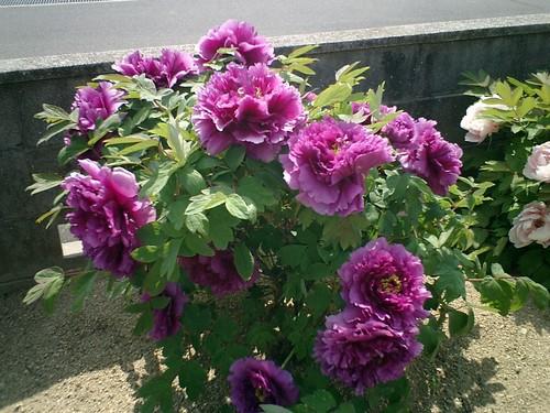 花の王・牡丹