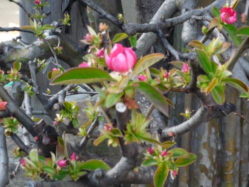 花梨の花が咲いた