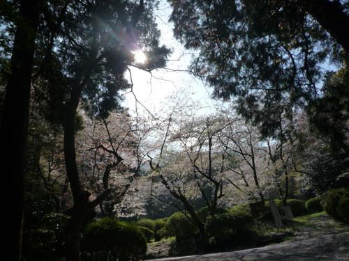 こんぴら山の桜