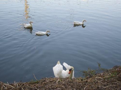 お堀の水鳥