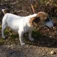 ジャックラッセルテリア(ルナの母犬)